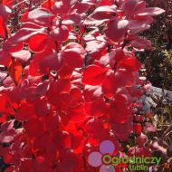 Berberis thunbergii 'Orange Rocket' (Berberys Thunberga) - berberis_thunbergii__orange_rocket__1[1].jpg